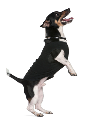 Jack Russell terrier standing on hind legs looking up, 2 and a half years old, in front of white background